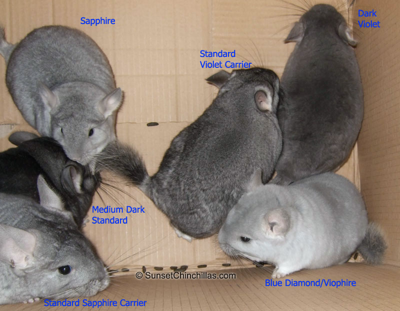 Chinchilla Color Chart