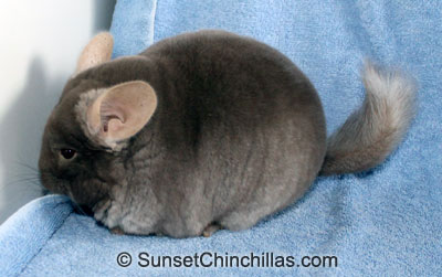 Tov Tan Chinchilla