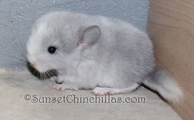Baby Violet White Chinchilla