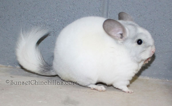 Violet White Chinchilla