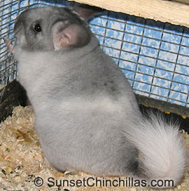 Tov Ebony White Chinchilla