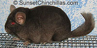 Chocolate Chinchilla Baby