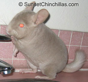 Homozygous Tan Chinchilla