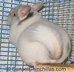 Tov Tan White Chinchilla