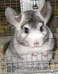 California Recessive White Chinchilla