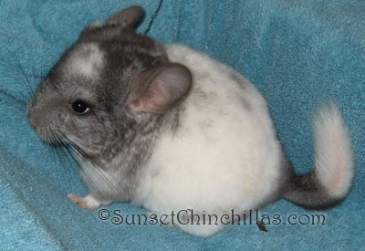 Ebony White Baby Chinchilla
