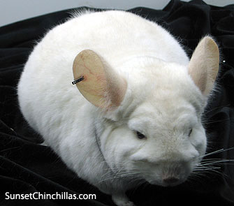 Lowe Recessive White Chinchilla