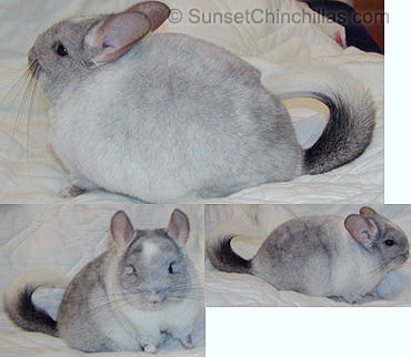 Tov White Mosaic Chinchilla
