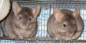 Beige Ebony cross Chinchilla