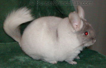 Reverse Tov Tan White Chinchilla