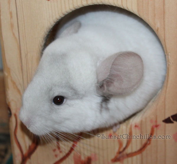 White Chinchilla