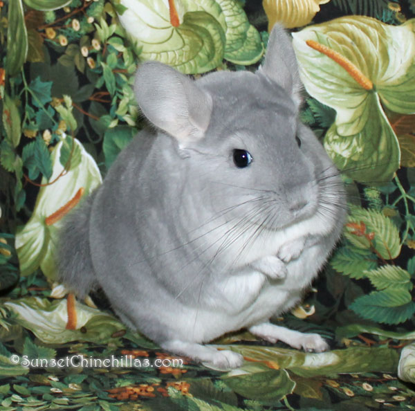 Blue Diamond Chinchilla