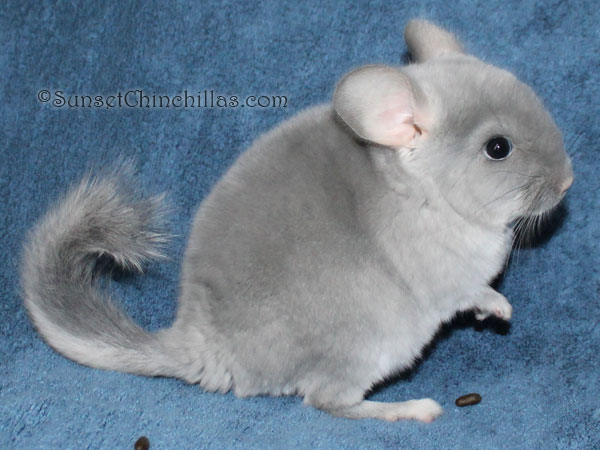 Tov Blue Diamond Chinchilla