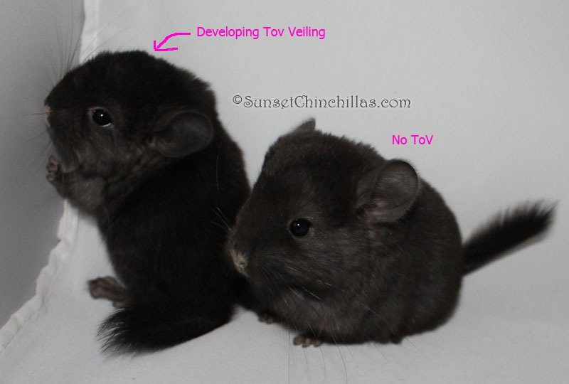 Black baby chinchillas