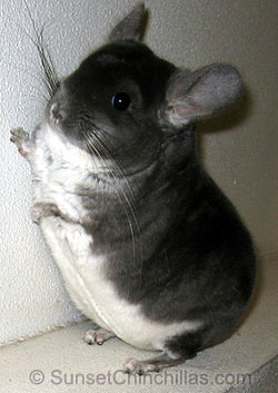 Tov Violet Chinchilla