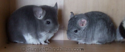 Baby violet chinchilla and baby sapphire chinchilla