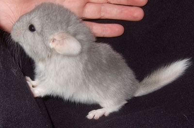 baby chinchilla animal: images