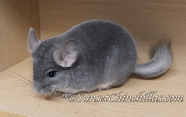 Violet sapphire carrier Chinchilla for sale