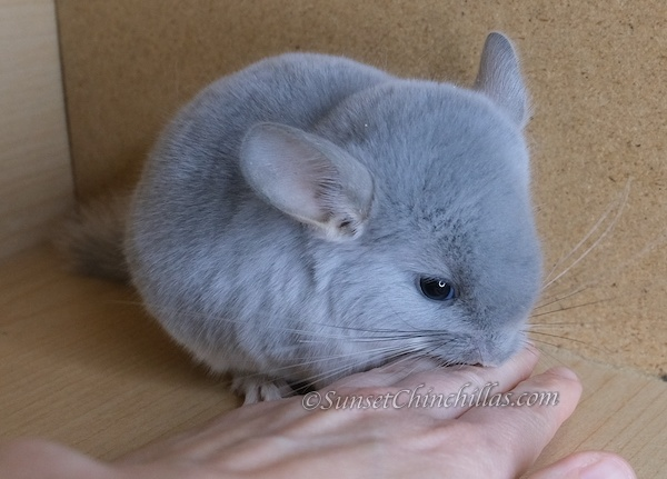Baby Blue Diamond Chinchilla for sale