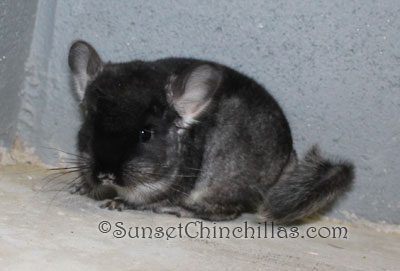 Baby Gray chinchilla for sale