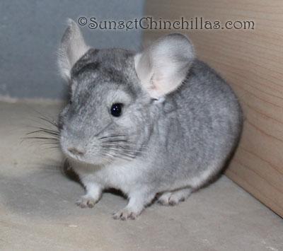 Baby Sapphire chinchilla for sale
