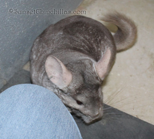 Beige sapphire carrier chinchilla for sale
