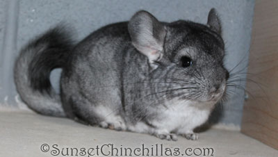 Baby Violet chinchilla for sale