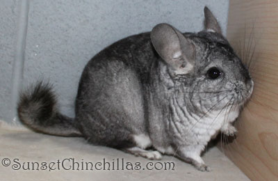 Gray chinchilla for sale
