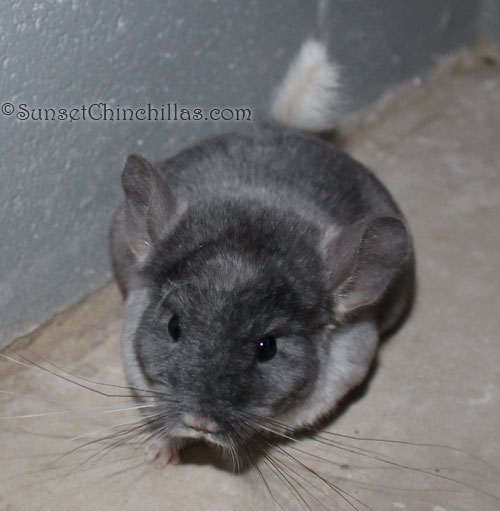 baby mosaic chinchilla for sale