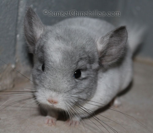 mosaic chinchilla for sale