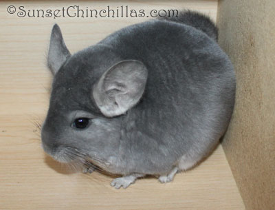 Chinchilla For Sale >> Chinchillas For Sale In Texas