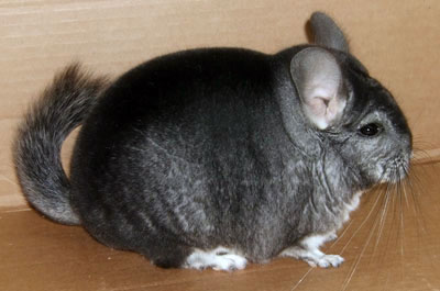 Extra Dark Standard Chinchilla