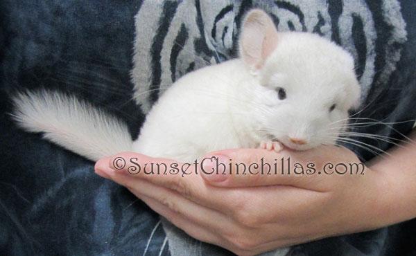 Chinchilla For Sale >> Pinkwhite Chinchilla Pictures