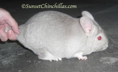 White Violet Chinchilla
