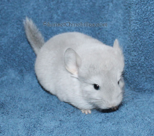 Blue Diamond Chinchilla Viophire Or Violet Sapphire Cross